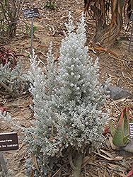 Pearl Bluebush (Maireana sedifolia) at Roger's Gardens