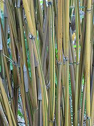 Alphonse Karr Bamboo (Bambusa multiplex 'Alphonse Karr') at Roger's Gardens