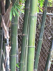 Giant Timber Bamboo (Bambusa oldhamii) at Roger's Gardens