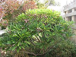 Red Frangipani (Plumeria rubra) at Roger's Gardens