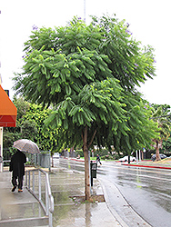 Brazilian Rosewood (Jacaranda mimosifolia) at Roger's Gardens