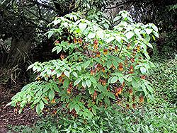Golden Fuchsia (Deppea splendens) at Roger's Gardens