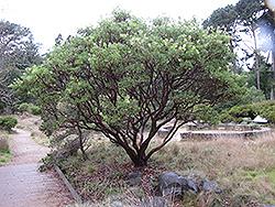 Big Berry Manzanita (Arctostaphylos glauca) at Roger's Gardens