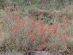Hurricane Point California Fuchsia (Epilobium canum 'Hurricane Point') at Roger's Gardens