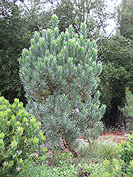 Silver Tree (Leucadendron argenteum) at Roger's Gardens