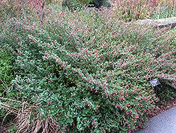 Starfire Pink Firecracker Plant (Cuphea ignea 'Starfire Pink') at Roger's Gardens