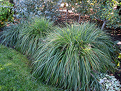 Moudry Fountain Grass (Pennisetum alopecuroides 'Moudry') at Roger's Gardens