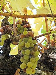 Sauvignon Blanc Grape (Vitis 'Sauvignon Blanc') at Roger's Gardens