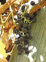 Syrah Grape (Vitis 'Syrah') at Roger's Gardens