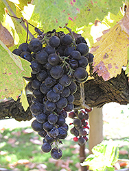 Merlot Grape (Vitis 'Merlot') at Roger's Gardens