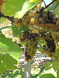 Chardonnay Grape (Vitis 'Chardonnay') at Roger's Gardens