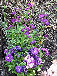 Purple Stock (Matthiola incana 'Purple') at Roger's Gardens
