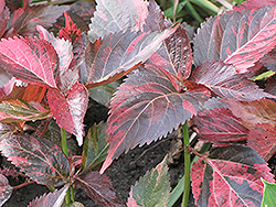 Tricolor Copper Plant (Acalypha wilkesiana 'Tricolor') at Roger's Gardens