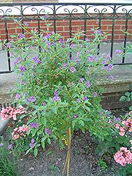 Blue Potato Bush (tree form) (Solanum rantonnetii '(tree form)') at Roger's Gardens
