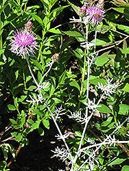 Velvet Centaurea (Centaurea gymnocarpa) at Roger's Gardens