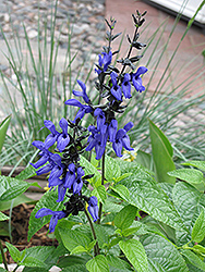 Black And Blue Anise Sage (Salvia guaranitica 'Black And Blue') at Roger's Gardens