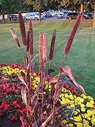 Purple Majesty Millet (Pennisetum glaucum 'Purple Majesty') at Roger's Gardens