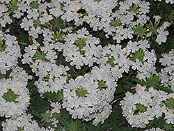 Superbena Bushy White Verbena (Verbena 'Superbena Bushy White') at Roger's Gardens