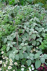 Silver Spur Flower (Plectranthus argentatus) at Roger's Gardens