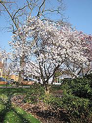 Waterlily Magnolia (Magnolia stellata 'Waterlily') at Roger's Gardens