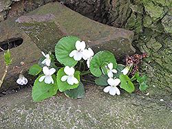 White Wood Violet (Viola odorata 'Alba') at Roger's Gardens