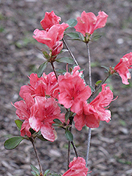 Red Wing Azalea (Rhododendron 'Red Wing') at Roger's Gardens