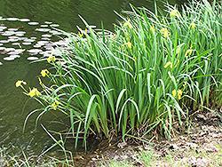 Yellow Flag Iris (Iris pseudacorus) at Roger's Gardens