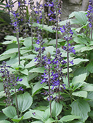 Blue Anise Sage (Salvia guaranitica) at Roger's Gardens