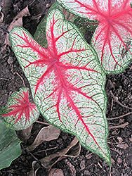 Rosebud Caladium (Caladium 'Rosebud') at Roger's Gardens