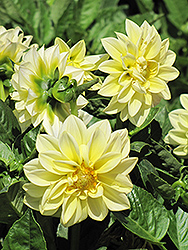 Dahlietta Margaret Dahlia (Dahlia 'Dahlietta Margaret') at Roger's Gardens