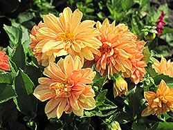 Dahlietta Linda Dahlia (Dahlia 'Dahlietta Linda') at Roger's Gardens