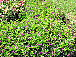False Heather (Cuphea hyssopifolia) at Roger's Gardens