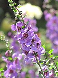 Serena Lavender Angelonia (Angelonia angustifolia 'Serena Lavender') at Roger's Gardens