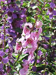 Serena Lavender Pink Angelonia (Angelonia angustifolia 'Serena Lavender Pink') at Roger's Gardens