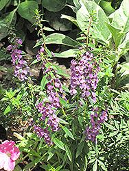 Serena Lilac Angelonia (Angelonia angustifolia 'Serena Lilac') at Roger's Gardens