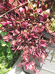 Purple Wandering Jew (Tradescantia fluminensis 'Purple') at Roger's Gardens