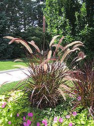 Purple Fountain Grass (Pennisetum setaceum 'Rubrum') at Roger's Gardens