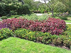 Magellanica Perilla (Perilla 'Magellanica') at Roger's Gardens