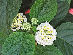 White Gold Lantana (Lantana camara 'White Gold') at Roger's Gardens