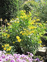 Mayan Gold Yellow Trumpetbush (Tecoma stans 'Mayan Gold') at Roger's Gardens