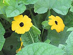 Black-Eyed Susan Vine (Thunbergia alata) at Roger's Gardens