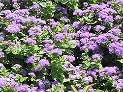 Hawaii Blue Flossflower (Ageratum 'Hawaii Blue') at Roger's Gardens