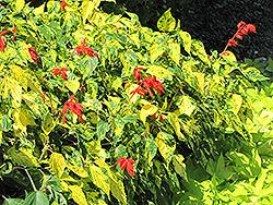 Dancing Flame Sage (Salvia vanhouttei 'Dancing Flame') at Roger's Gardens
