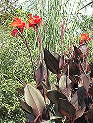 Tropicanna Black Canna (Canna 'Tropicanna Black') at Roger's Gardens