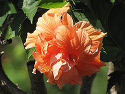 Double Orange Hibiscus (Hibiscus rosa-sinensis 'Double Orange') at Roger's Gardens