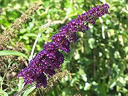 Black Knight Butterfly Bush (Buddleia davidii 'Black Knight') at Roger's Gardens
