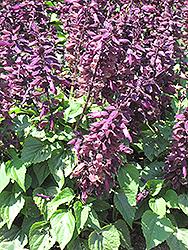 Salsa Light Purple Sage (Salvia splendens 'Salsa Light Purple') at Roger's Gardens