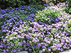 Blue Horizon Flossflower (Ageratum 'Blue Horizon') at Roger's Gardens
