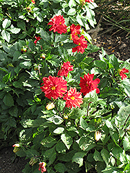 Figaro Red Shades Dahlia (Dahlia 'Figaro Red Shades') at Roger's Gardens