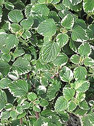 Swedish Ivy (Plectranthus forsteri 'Marginatus') at Roger's Gardens